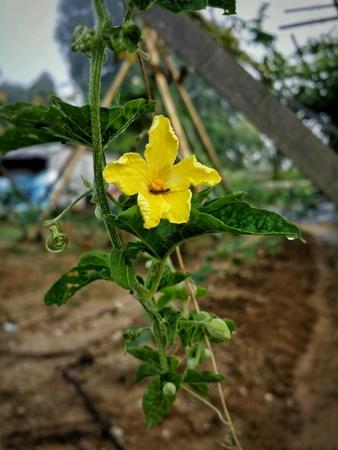 balsam: Balsam pears flower