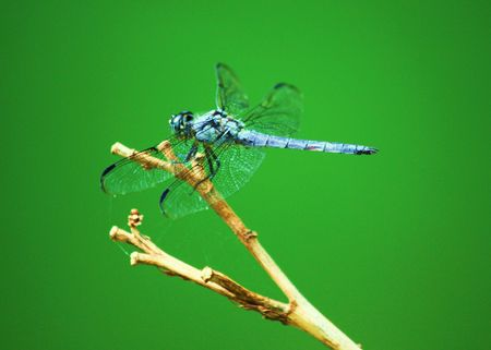 anisoptera: Blue Dragonfly on Green Background