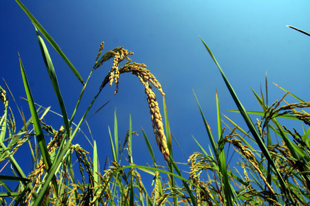 ricefield: ricefield with blue sky Stock Photo