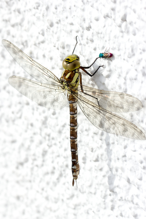 Dragonfly a insect called blue hawker sitting on a white wall Banco de Imagens