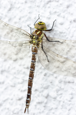 Dragonfly a insect called blue hawker sitting on a white wall Stockfoto