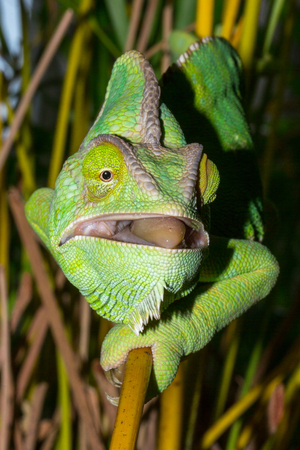 Chameleon from Yemen called Yemen chameleon or dragon or lizard with open mouth and focus on the eyes next meal.
