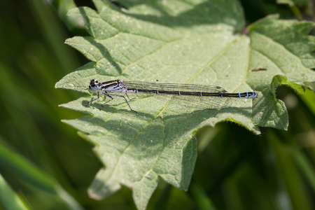 Dragonfly a insect called spearhead bluet very detailed and sitting on a green leaf Stockfoto