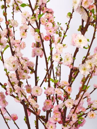 Spring backgound. Pink prunus flowers, gentle blossoms on white background. Floral pattern. Easter concept