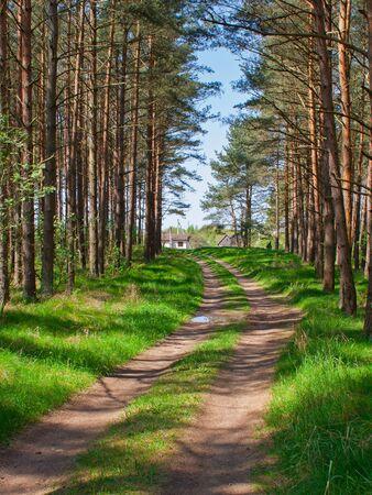 Path in the pine tree woods. Sunny summer day 版權商用圖片