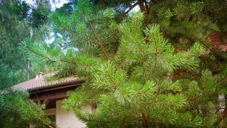 Tiled house roof behind the pine tree branches. Summer day