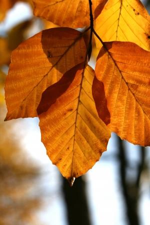 Beech Tree in Autumn Standard-Bild - 14484113