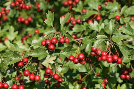 hedgerow: Mature Fruits Of The Hawthorn