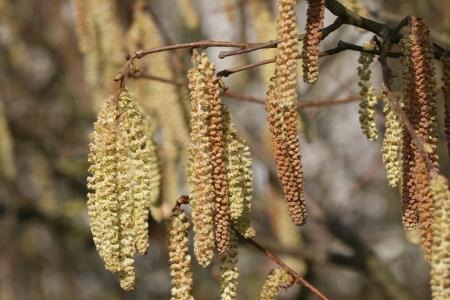 Hazel Springtime Standard-Bild - 14604163