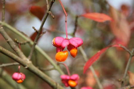 European Spindle Tree in Autumn photo