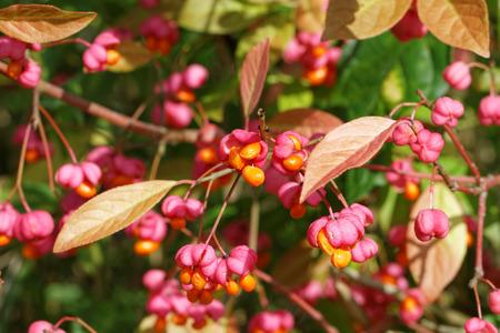 Europäische Spindelbaum im Spätsommer Standard-Bild - 32507140