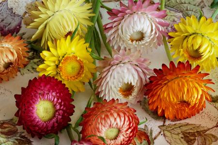 Schneiden Sie Frisch Strohblumen Standard-Bild - 63374560