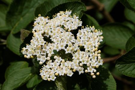 lantana: Wayfaring Tree (Viburnum lantana) - Bloom