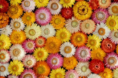 Bunte Mosaik von getrockneten Strohblumen (Helichrysum bracteatum) Standard-Bild - 63374607