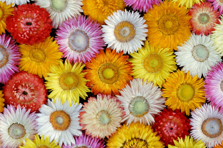 Getrocknete Strohblumenblüten - Nahaufnahmeansicht (Helichrysum bracteatum) Standard-Bild - 63374608