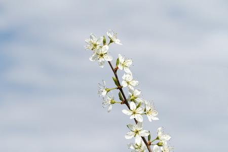 Schwarzdornblüte (Prunus spinosa) Standard-Bild - 75528380
