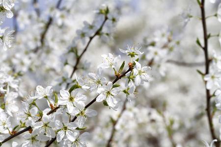 Blühender Schwarzdorn (Prunus spinosa) Standard-Bild - 75528685