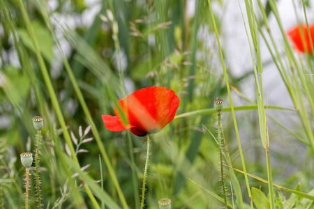 Impression of corn poppy in summertime