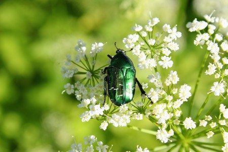 Beetle (Green Rose Chafer) is decided to eat the pollen of the flower before anyone else. Stock Photo
