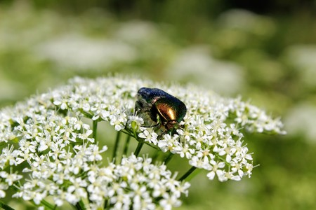 Beetle (Green Rose Chafer) is decided to eat the pollen of the flower before anyone else. Reklamní fotografie