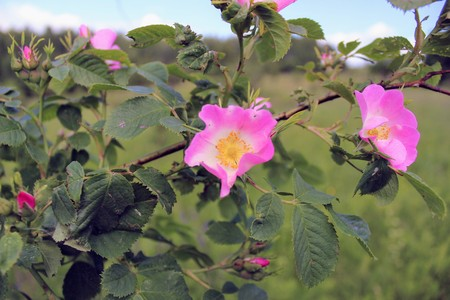 The wild rose dog rose bush in the flowering stage large pink stock photo the wild rose dog rose bush in the flowering stage large pink flowers closeup mightylinksfo