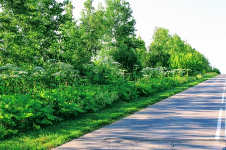 Going up the asphalt road. On the sides of the road can be clearly seen the tall trunks of the hogweed plant.