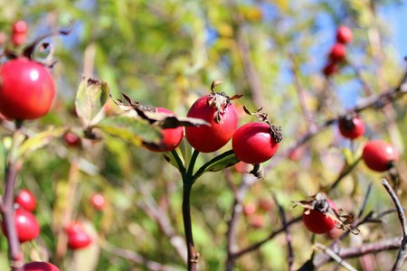briar: Briar berries growing on branches of a bush. Stock Photo