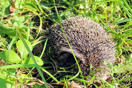 Sleeping on the green grass hedgehog turned and showed his nose. Stock Photo