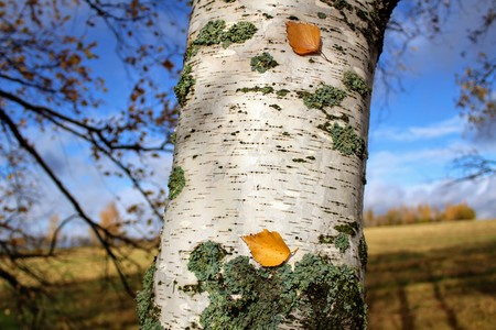 Autumn time: yellowed fallen leaves stuck to the birch trunk.