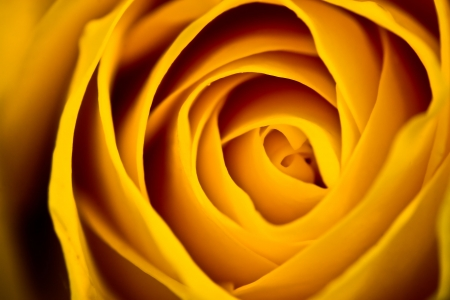 Yellow Rose Closeup Stock Photo