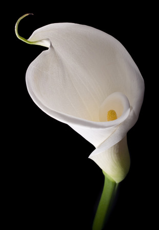 day lily: White calla with elegant curves isolated on black