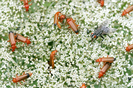 copulate: A lot of common red soldier beetles and one female flesh-fly Stock Photo