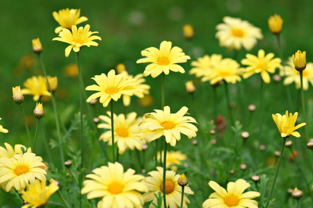 marguerites: Lots of yellow marguerites