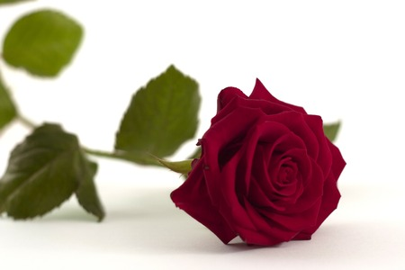 fiance: Red rose isolated on white