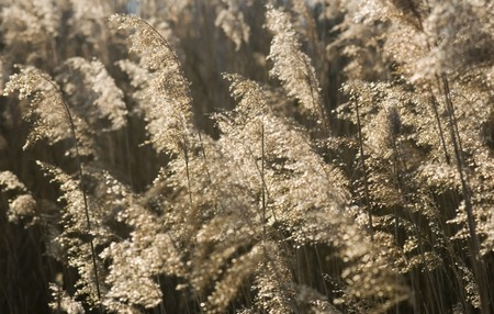 morass: Reed background (backlit) Stock Photo