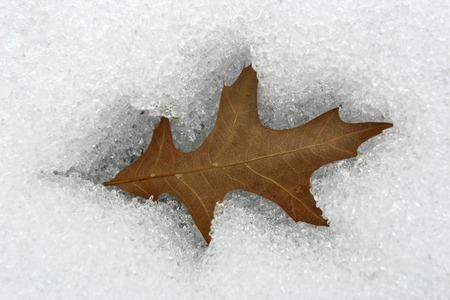 caved: Brown leaf caved in snow