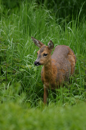 observant: Deer in high grass and stinging nettles Stock Photo
