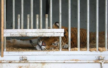 eyecontact: Locked up tiger in a circus caravan Stock Photo