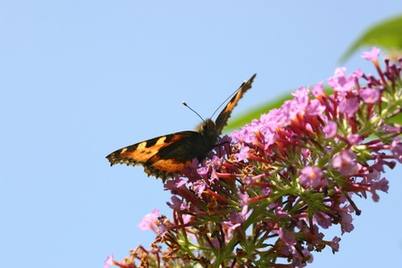 horticulturist: Butterfly (Aglais urticae) collecting nectar Stock Photo