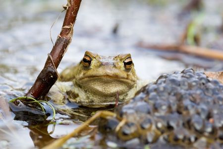 Frog besides a heep of spawn Stock Photo - 1842106