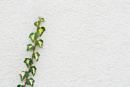 concealed: Ivy on a white concealed wall of a house Stock Photo