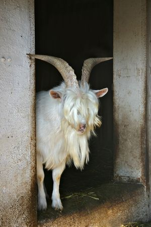 Need a haircut - billy goat with long hair photo