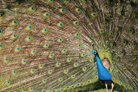 peacock wheel: Peacock filatura una ruota in un giardino zoologico