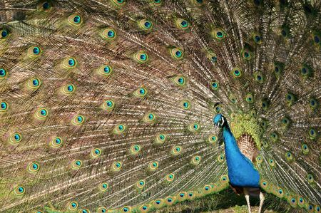 Peacock spinning a wheel in a zoo photo