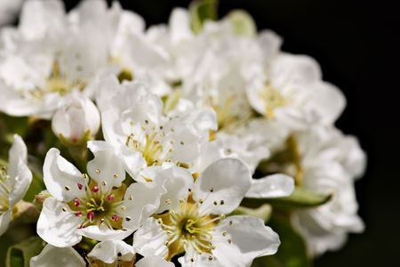 blossoming yellow flower tree: Closeup of apple tree blossoms with copyspace