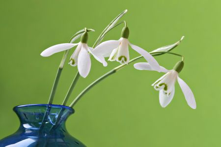 Three snowdrops in a blue vase with green background photo