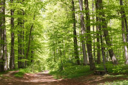 forrest: Beech forest during spring with lots of fresh green leaves