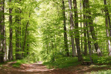 forrest: Beukenbos in het voorjaar met veel verse groene bladeren