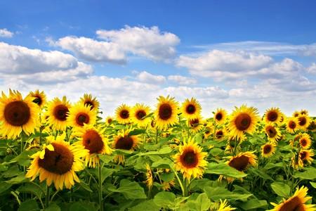 yellow  agriculture: Girasol campo con cielo azul