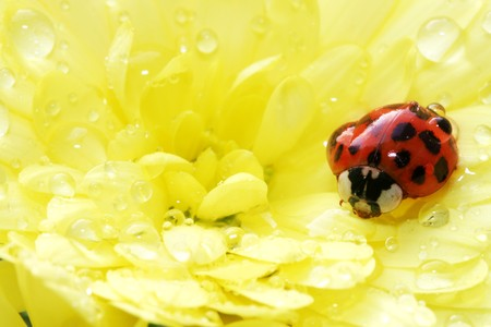Beautiful ladybug on a yellow flower with lots of water drops photo